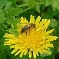 Pszczoła #pszczoła
