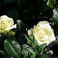 Elfe #róze