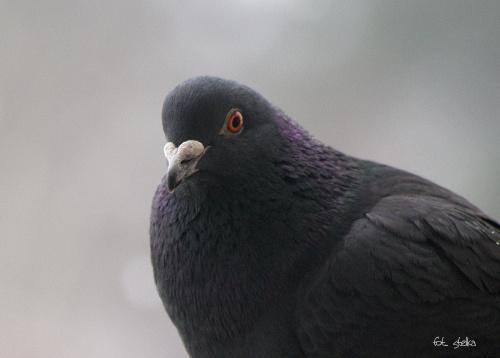 oprócz sikorek mam też takich gości na balkonie ... :)) ---- do zobaczenia za kilka dni; mój komp oddałam do kapitalki ----- pozdrawiam odwiedzających ... :))) **** (ulub. ana72) **** #ptaki #gołębie #zima #NaBalkonie