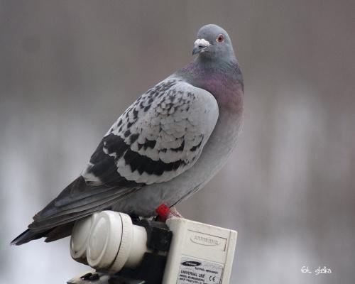 oprócz sikorek mam też takich gości na balkonie ... :)) #ptaki #gołębie #zima #NaBalkonie