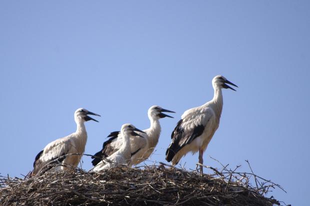 - My chcemy jeść! #bociany #ptaki