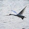 Lot łabędzi- Swan fly #swan #łabędź #fly #lot