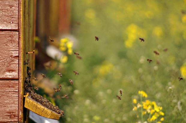 tu pszczoły znoszą miód z pól kwitnącego rzepaku #pszczoły #ule