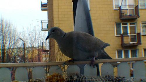 ...ptaki za moim oknem, Sierpówki tez przyleciały na posiłek :)