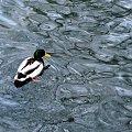 ptaszki różne ... #ptaki #kaczki #woda #rzeka #Kłodnica