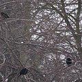 ptaszki różne ... #ptaki #kosy #zima #park