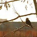 #ptaki #kos