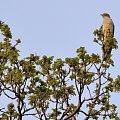 Kukułeczka kuka... #las #kukułka #ptaszki #kuku