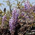 wiosna we fioletach ... :)) #kwiaty #wisteria #glicynia #wiosna #ogród #pnącze