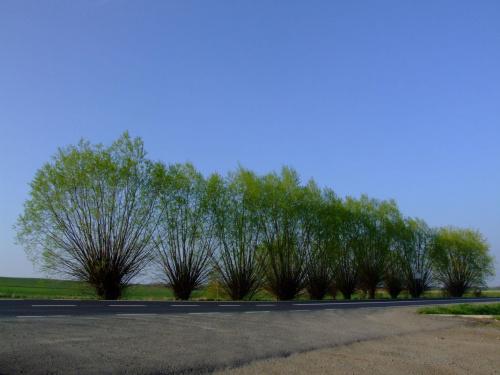Wierzby #drzewa #wierzby #PolskieKlimaty #natura #przyroda