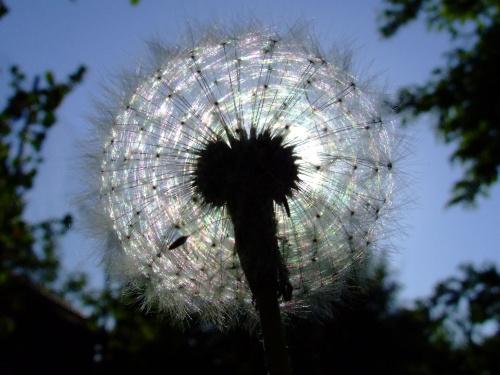 w świetle #przyroda #natura #dmuchawiec