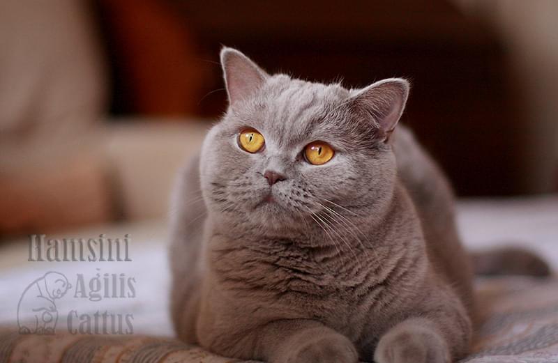 Kotka brytyjska Hamsini Agilis Cattus*PL