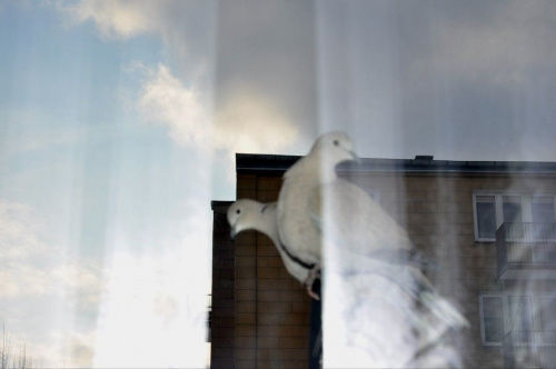 ...Sierpówki z poranną wizytą :) zdjęcie zrobione ukradkiem zza firanki...