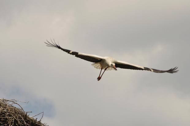 radość latania- młody trenuje :) #bociany #ptaki