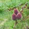 #lumix #makro #owady #rośliny #SzyszkaModrzewia #MłodaSzyszkaModrzewia
