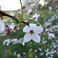 #lumix #makro #owady #rośliny #KwiatJabłonki #jabłonka