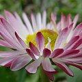 Zdjęcia #lumix #makro #owady #rośliny #panasonic #stokrotka