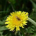Zdjęcia #lumix #makro #owady #rośliny #pszczoła