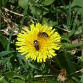 Zdjęcia #lumix #makro #owady #rośliny #pszczoła #pszczoły