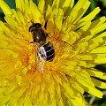 Zdjęcia #lumix #makro #owady #rośliny #pszczoła #mlecz #nektar