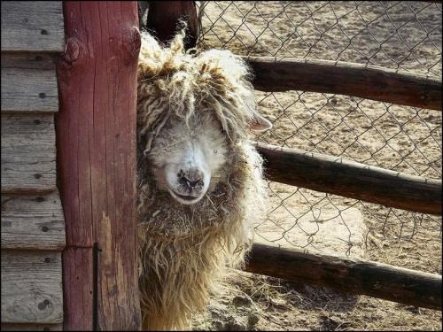 w oczekiwaniu na fryzjera #zwierzęta