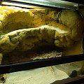 #ExoTerra #gecko #gekon #przebudowa #pustynne #ścianka #terrarium