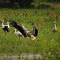 #bociany #ptaki #łąki