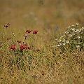 to też lato... #lato #pole #maki #rumianki #kwiaty