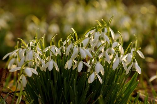 #kwiaty #przebiśniegi