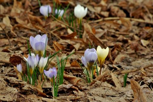 #kwiaty #krokusy