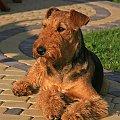 airedale ruvido #AiredaleTerrier #pies #ruvido #szczenięta #terrier