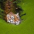 Swimming... #arietiss #fauna #kot #tygrys #zwierzęta