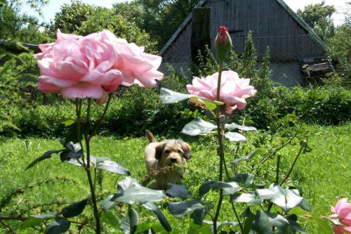 Karusek i róże w przydomowym ogrodzie.