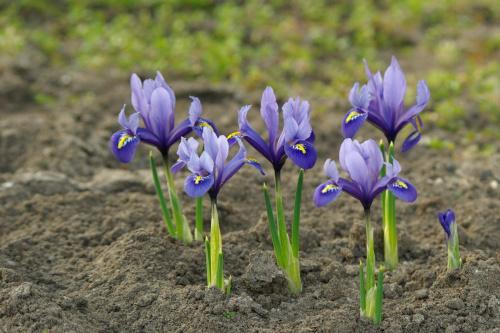 #kwiaty #irysy #kosaciec
