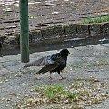 #ptaki #szpak