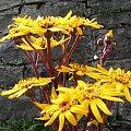 Kwiatki przy schronisku #góry #schronisko #szyndzielnia