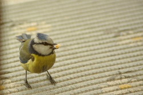 #ptaki #sikorki