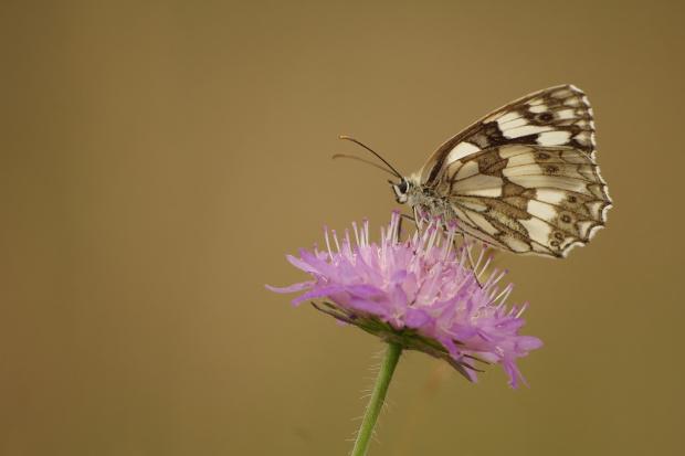 #motyle #PolowiecSzachownica