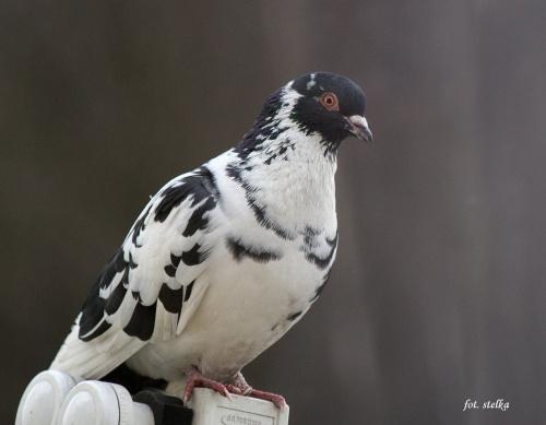 srokaty przychodzi codziennie na mój balkon ... i chyba przynosi mi dobre nowiny ... :)) Życzę Wam: pełnych miłości, radości i zdrowia Świąt Wielkiej Nocy oraz bogatego zajączka ... **** (ulub. zacmienie13) **** #ptaki #gołębie