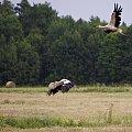 #ptaki #łąki #bociany