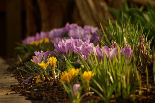 #kwiaty #wiosna #krokusy