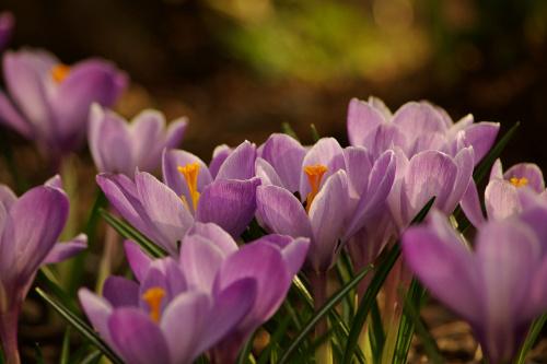 #kwiaty #krokusy #wiosna