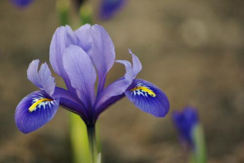 #kwiaty #irysy