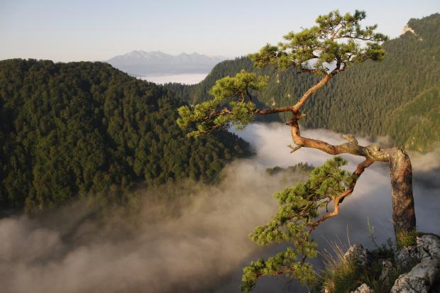 #góry #mgła #natura #Pieniny #sosna