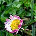 z deszczowego spaceru ... :)) #wiosna #park #kwiaty #stokrotki #deszcz #łąka