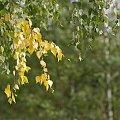 #liście #brzoza #drzewa #jesień