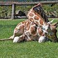 Lekcja jogi... #zwierzęta #żyrafa #zoo #arietiss