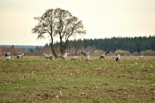 żurawie spotkane podczas podróży (zdjęcia robione z dość sporej odległości, z drogi)- było ich z grubsza licząc ok. 100!!! Tylu jeszcze nigdy nie widziałam! #ptaki #żurawie