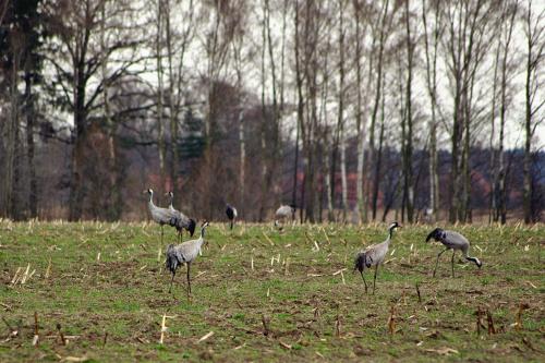 żurawie spotkane podczas podróży (zdjęcia robione z dość sporej odległości, z drogi)- było ich z grubsza licząc ok. 100!!! Tylu jeszcze nigdy nie widziałam! #ptaki #zurawie