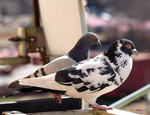 iść za marzeniem ... i znowu iść za marzeniem ... i tak zawsze aż do końca ... (Joseph Conrad) #ptaki #gołębie #NaBalkonie